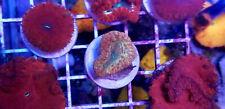 Rare Blastomussa Merletti Blasto Polyp Lps Coral frag Wysiwyg RainbowReefCorals
