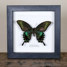 Alpine Black Swallowtail Summer Form (Papilio maackii summer form) taxidermy