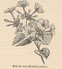 C8200 Belle-de-nuit - Mirabilis jalapa - Stampa antica - 1892 Engraving