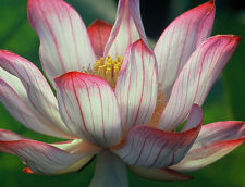 Two-Colour/Red & Whit/water lily flower Bowl-Pond Lotus/5 Fresh seeds/ Camellia