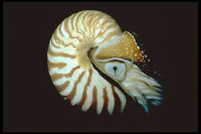"""427048 la """"chambré"""" Nautilus es un fósil viviente de aguas profundas A4 Foto Impresión"""