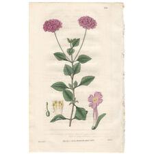 Curtis Botanical Magazine antique 1830 hand-colored engraving Pl 2981 Lantana