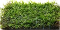 10 to 250g Java Moss - live aquarium carpet plant bogwood ornament fish fry wood