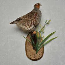 GREY PARTRIDGE TAXIDERMY BIRD MOUNT - PARTRIDGE MOUNTED, STUFFED BIRDS FOR SALE