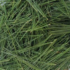 Organic Fresh Harvest Eastern White Pine Needles 1/4 Lb Immunity Wild Suramin