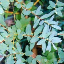 Eucalyptus - Niphophila - 50 Seeds