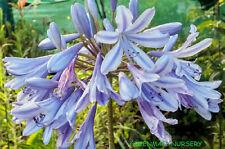 Agapanthus Africianus Blue Stargazer Mature plants