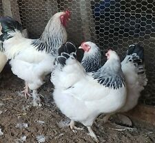 10+ 1/2 and 1/2 - 5+ English Lavender & 5+ Light Brahma, both breeds are pure