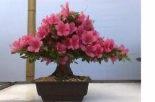 20pcs Azalea Rhododendron Flowering Bush Seeds Mixed Evergreen Bonsai Plant Tree
