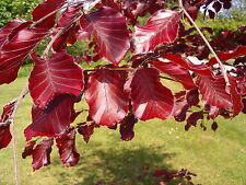 1 Copper Beech 3-4ft Purple Hedging Tree In 2L Pot, Stunning all Year Colour