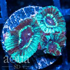 New listing Asd - 072 Whirlpool Favia - Wysiwyg - Aqua Sd Live Coral Frag
