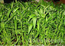 500 seeds of Kangkong, River - Water Spinach, Ong Choy, Hung Choi, Swamp Cabbage