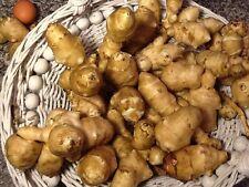20 Jerusalem Artichoke,Sunchoke ,Sunroot, Organic,Medium size for planting