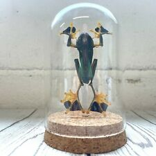 More details for green flying frog (rhacophorus reinwardtii) glass bell cloche dome display jar