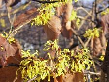 15 Common Virginia Witch Hazel Seeds - Hamamelis virginiana