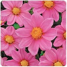 Dahlia variabilis seeds Pink annual flowers from Ukraine