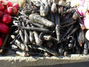 Spanish Black Carrot - 100+ seeds - HEALTHY and EXTRAVAGANT!
