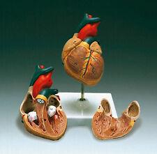 Basic Human Heart Model, Anatomical Model, New