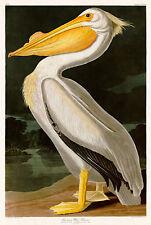 American White Pelican by John Audubon A2 High Quality Art Print