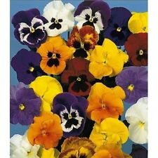Pansy Forerunner Mix Seed Lovely Pansy 'Faces' Cold Tolerant  to 10 deg C