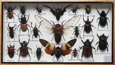 REAL 3 CICADA AND MIX INSECT TAXIDERMY IN BOXED DISPLAY