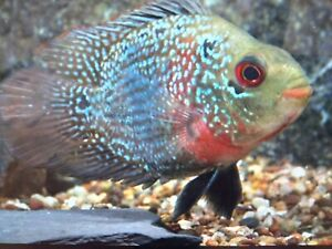 Flowerhorn rose  Cichlid - Tropical Fish