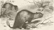 RODENTS. African brush-tailed porcupine 1894 old antique vintage print picture