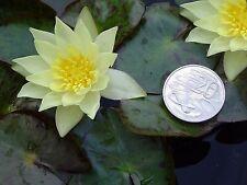 Dwarf Yellow Waterlily - Helvola, True Miniature, Pond Aquatic Water Plant
