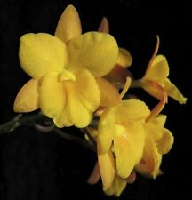 Cattleytonia Why Not 'Yellow' (Makana ke Akua X Self) 4�(15)