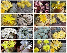 Lithops MIX succulent ice plant cacti flower cactus living stone seed 100 SEEDS