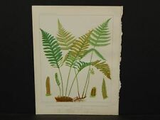 Cassell's Ferns, c.1885, Four Beautiful Lithographs, G1#02