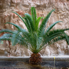 1 Pair Hardy Phoenix Palm Trees Tropical Garden Outdoor Patio Yard 80-100cm Tall