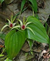 Stemona tuberosa VERY RARE AND UNIQUE VINE Seeds