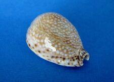"Cypraea Lamarckii 42,7 mm Gem  "" Madagascar ""  Joli spécimen"
