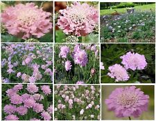 * Pink Delight * Scabiosa Pincushion Flower 25 Seeds 4 U