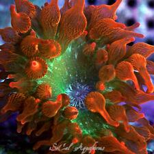 New listing Wysiwyg Live Anemone: Speckled Rose Bubble Tip; Coral Clownfish Rbta Bta Percula