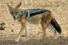 TANNED LIFESIZE AFRICAN JACKEL SKIN taxidermy mule deer antler whitetail elk