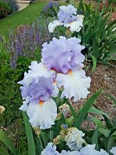 Tall Bearded Iris BLUE RISING (bare rooted rhizome)