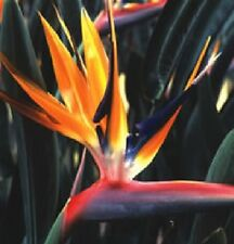 Flower - Strelitzia reginaei - 10 Seed Bird of Paradise - Spectacular Plant