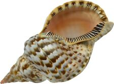 "Large Triton Decorative Shell Seashell Table Top Centerpiece 9-10"""