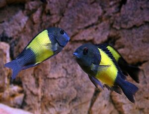 """Yellow band tropheous cichlid 2.5-3"""" guaranteed with colors. Just amazing"""