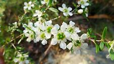 'MANUKA PLANT' Leptospermum polygalifolium,Honey,Bush Tucker,Herb,Fruit tree