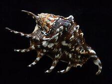 Sea Shells Lambis Lambis / Common Spider Conch 157mm ID#3411CA