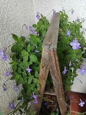 Zimmerpflanzen Ranke Balkonpflane Gartenpflanze Blumen Zierpflanzen Grünpflanze