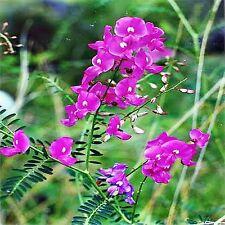 THE DARLING PEA SEED SWAINSONIA GALEGIFOLIA NATIVE FLOWERING HARDY 80 SEEDS