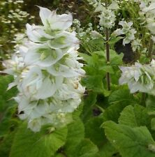 Salvia sclarea 'Vatican White' / White Clary Sage / Hardy Perennial / 50 Seeds