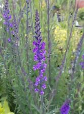 Purple toadflax, Linaria purpurea stunning biennual loved by bees pack of seed