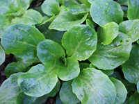 Dutch Corn Salad, Lamb's Lettuce, Mache, NON-GMO, Variety Sizes, FREE SHIPPING