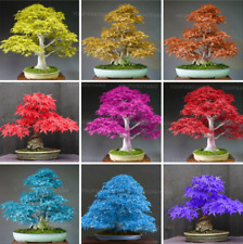 20 Pcs Seeds Japanese Maple Bonsai Plants Rare Tree Garden Decoration 2019 New N