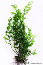 Live Aquarium Plants  / Bolbitis Heudelotii / African Water Fern / Very easy
